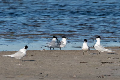 Kentsk tärna – Thalasseus sandvicensis – Sandwich Tern