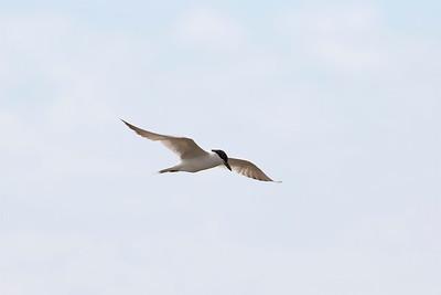 Sandtärna – Gelochelidon nilotica – Gull-billed Tern