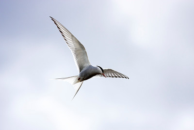Silvertärna – Sterna paradisaea – Arctic Tern