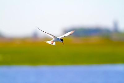 Småtärna – Sternula albifrons – Little Tern