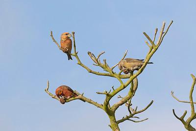 Större korsnäbb – Loxia pytyopsittacus – Parrot Crossbill
