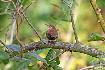 Gärdsmyg – Troglodytes troglodytes – Winter Wren