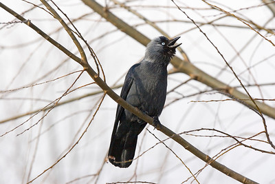 Kaja – Corvus monedula – Eurasian Jackdaw