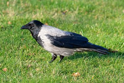 Gråkråka – Corvus cornix – Hooded Crow