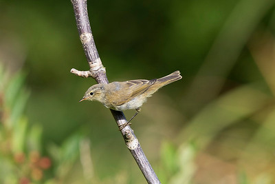 Gransångare – Phylloscopus collybita – Chiffchaff
