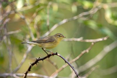 Lövsångare – Phylloscopus trochilus – Willow Warbler
