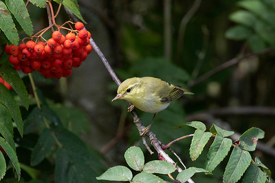 Grönsångare – Phylloscopus sibilatrix – Wood Warbler