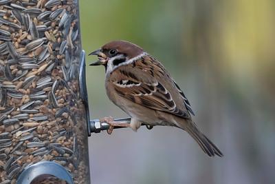 Pilfink – Passer montanus  – Eurasian Tree Sparrow
