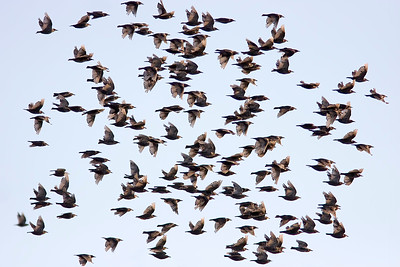 Stare – Sturnus vulgaris – Common Starling