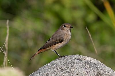 Rödstjärt – Phoenicurus phoenicurus – Common Redstart