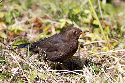 Koltrast – Turdus merula – Common Blackbird