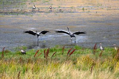 Trana – Grus grus – Common Crane