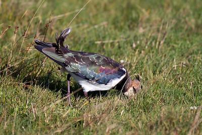 Tofsvipa – Vanellus vanellus – Northern Lapwing
