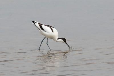 Skärfläcka – Recurvirostra avosetta – Pied Avocet