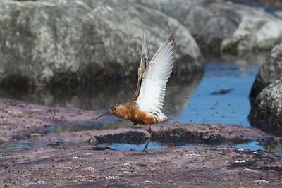 Spovsnäppa – Calidris ferruginea – Curlew Sandpiper
