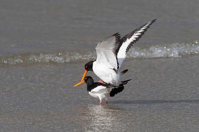 Strandskata – Haematopus ostralegus –Eurasian Oystercatcher