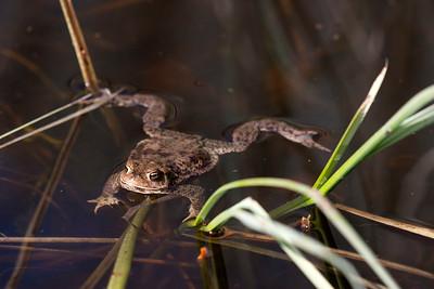 Vanlig padda – Bufo bufo – Common Toad