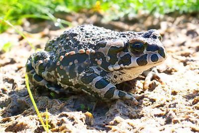 Grönfläckig padda – Bufotes viridis – European Green Toad