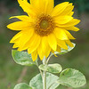 Sunflower - 2009