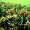 Zeeanamoon en doorschijnende zakpijpkolonie, oesters