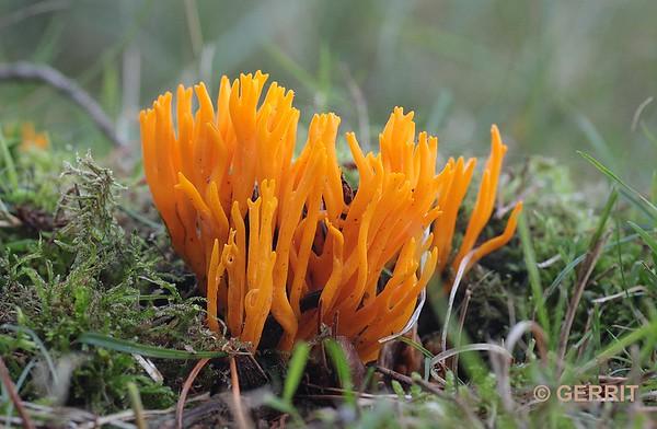 Oranje Koraalzwam