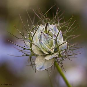 Juffertje-in-het-groen (Nigella damascena)