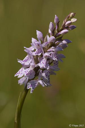 Gevlekte orchis.