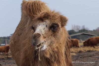 Dieren Kamelen