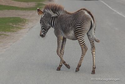 nederland 2015, hilvarenbeek, safaripark beekse bergen, zebra's