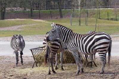 Dieren Zebra's