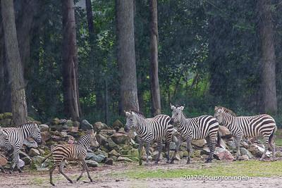 nederland 2017, arnhem, burgers zoo, natuur dieren zebra's grantzebra