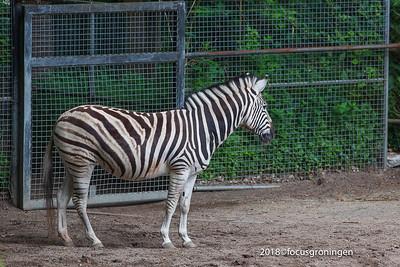 nederland 2018, rhenen, ouwehands dierenpark, chapman zebra