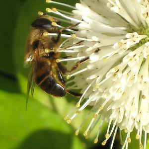 Hommels-Bijen-Wespen