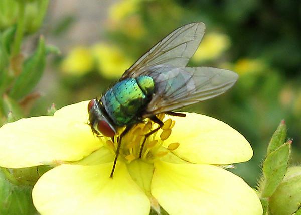 Groene Vleesvlieg op Ganzerik