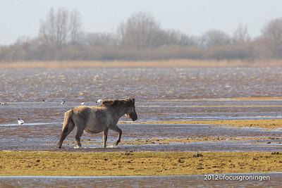 nederland 2012, lauwersoog, konikpaarden