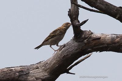 Vogels Boompieper
