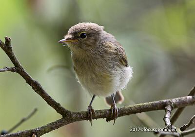 Vogels Fitis