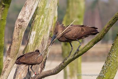 Vogels Hamerkop