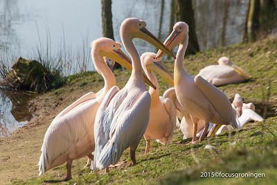 Vogels Pelikanen