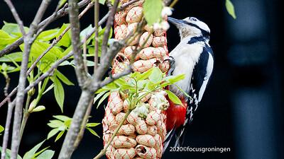 Vogels Spechten
