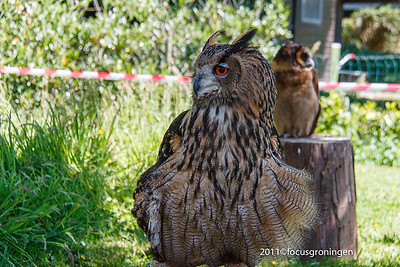 nederland 2011, lemiers, uil oehoe