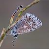 Icarusblauwtje en zweefvliegje