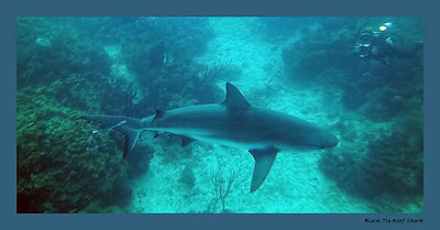 Black tip reef shark. shot with a point and shoot camera at a depth of about 75 ft. No external flash available due to flooding and malfunction. A very high ISO needed to capture this image. This accounts for the high noise in these images.