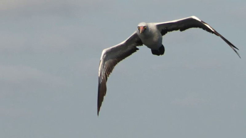Nazca Booby 06272014 First USA sighting