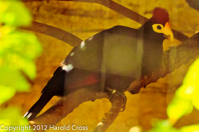 A Lady Ross's Turaco taken July 19, 2012 in Albuquerque, NM.