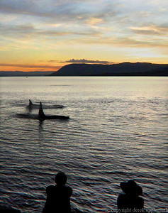 Orcas from Thieves Bay on Pender Island