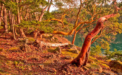 Roesland Arbutus trees on Pender Island