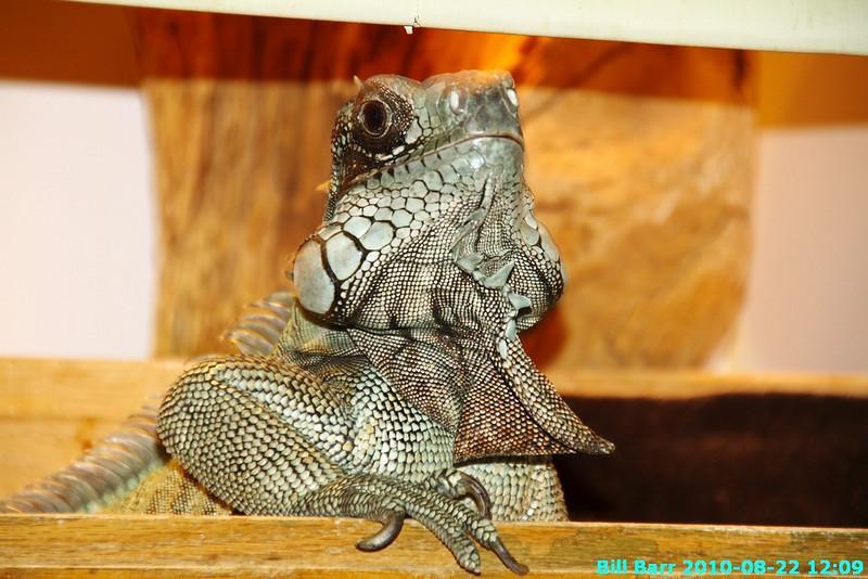Meet Sam my Iguana!