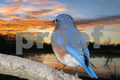Bluebird watching the Sun come up