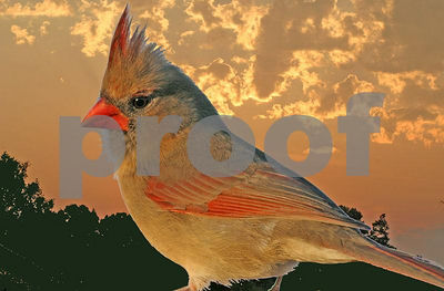 Female Cardinal at Sunrise